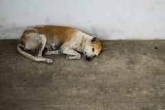睡觉在街道上的被放弃的无家可归的流浪狗 库存图片