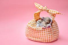 睡觉在袋子的奇瓦瓦狗小狗 免版税库存图片