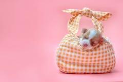睡觉在袋子的奇瓦瓦狗小狗 库存图片