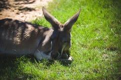 睡觉在象草的领域的成人袋鼠 免版税库存图片