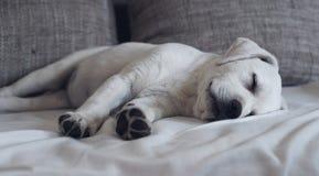 睡觉在长沙发的甜逗人喜爱的拉布拉多小狗在他的床上 库存图片