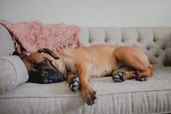 睡觉在长沙发的Bullmastiff 图库摄影