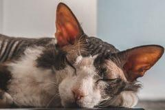 睡觉在阳光下在白色背景的Sphynx猫 免版税库存照片