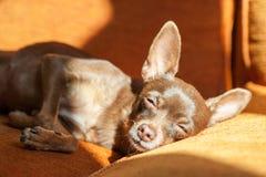 睡觉在阳光的一个沙发的布朗玩具狗 免版税库存照片