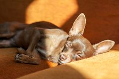 睡觉在阳光的一个沙发的红色玩具狗 图库摄影