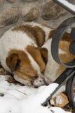 睡觉在雪的一条被放弃的狗 库存照片