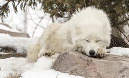 睡觉在雪的岩石的北极狼 免版税库存照片