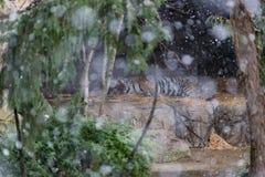 睡觉在雪的老虎 免版税库存照片