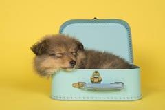 睡觉在黄色背景的一个蓝色手提箱的设德蓝群岛牧羊犬小狗 图库摄影