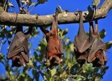 睡觉在他们的翼包裹的果蝠 图库摄影
