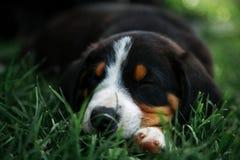睡觉在绿草的Entlebuher小狗 库存照片
