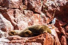 睡觉在Islas Ballestas, Paracas Peni的一个岩石的海狮 免版税库存照片