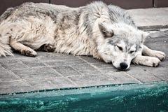 睡觉外面在路面的流浪狗 库存照片