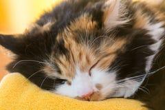 睡觉多彩多姿的猫-特写镜头 库存图片