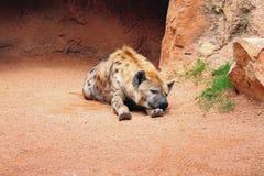 睡觉多斑点的鬣狗 免版税库存图片