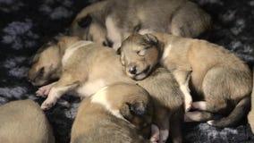 睡觉大牧羊犬幼兽 股票录像