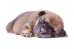 睡觉小狗 免版税库存图片
