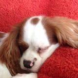 睡觉小狗 库存图片