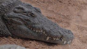 睡觉尼罗鳄鱼动物园 股票视频