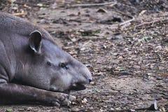 睡觉巴西的貘的特写镜头图象躺下和 免版税库存图片