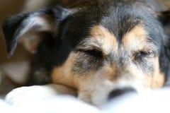 睡觉德国牧羊犬被混合的品种狗 免版税库存图片