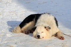睡觉拉雪橇狗 库存照片