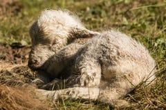 睡觉新出生的羊羔 图库摄影