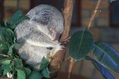睡觉昆士兰考拉 免版税图库摄影