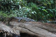 睡觉暹罗鳄鱼 免版税库存图片