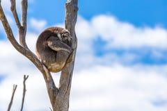睡觉树袋熊 免版税库存照片