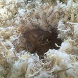 睡觉沙鼠 免版税库存照片