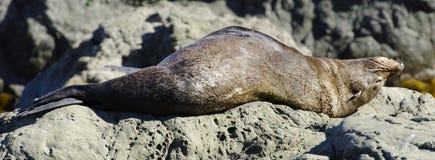 睡觉海狗 库存图片