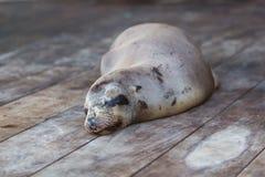睡觉海狮在加拉帕戈斯 库存图片