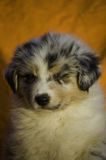 睡觉澳大利亚小狗 图库摄影