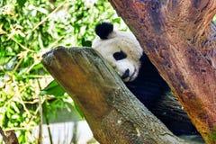 睡觉熊猫在它的自然生态环境 免版税库存图片