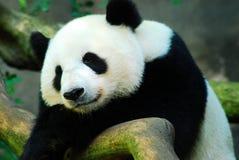 睡觉熊猫闭上它的眼睛 免版税图库摄影