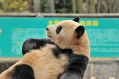 睡觉熊猫 免版税图库摄影