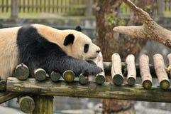 睡觉熊猫 免版税库存照片