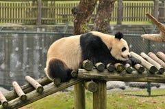 睡觉熊猫 免版税库存图片