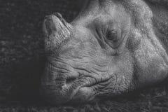 睡觉犀牛的顶头射击, 库存照片