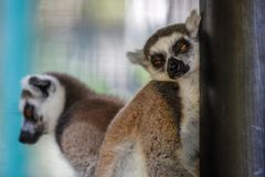 睡觉狐猴 巴厘岛动物园 印度尼西亚 免版税库存照片