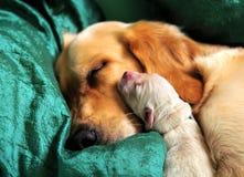 睡觉狗和她新出生的小狗 免版税库存照片