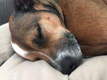 睡觉狗是逗人喜爱的 免版税库存图片
