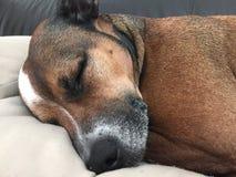 睡觉狗是逗人喜爱的 图库摄影