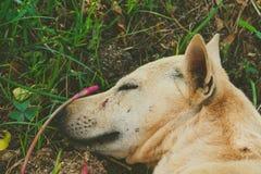 睡觉狗的面孔 免版税库存照片