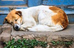 睡觉狗,加德满都,尼泊尔 库存照片