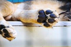 睡觉狮子的爪子在动物园里 库存图片