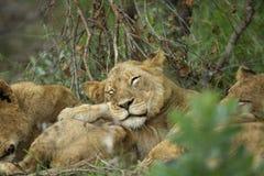 睡觉狮子自豪感 图库摄影