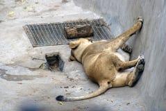 睡觉狮子画象 免版税库存图片
