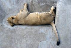 睡觉狮子画象 图库摄影